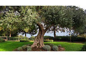 Где выращивают оливки в СНГ?